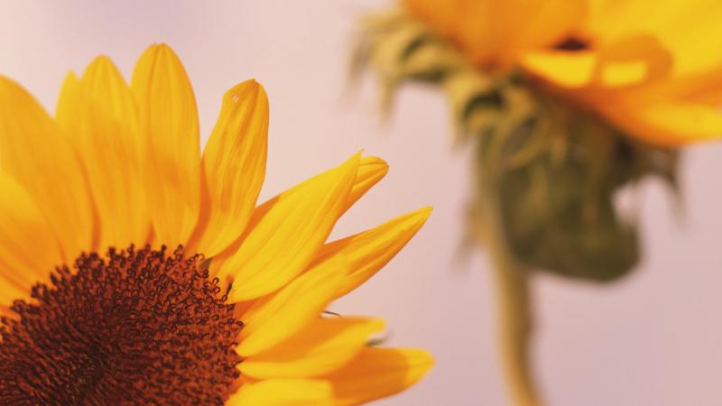 Sonnenblumen. Varsha ayurvedische Jahreszeit.